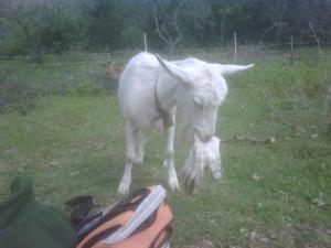 La capra Semola che valuta la commestibilità di un guanto