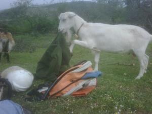 La capra Semola che valuta la commestibilità di una giacca di pile