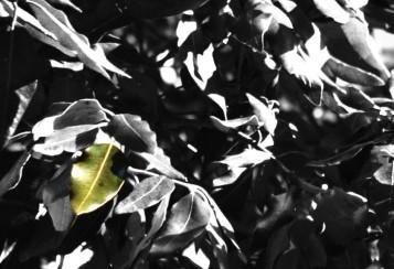 Fotografia di foglie di leccio dove si mostra l'identità (fatta verde) di una di queste (fatte grige)