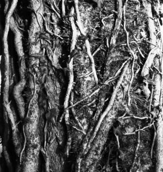 immagine ravvicinata di un fascio di edere che inviluppano un tronco di acacia